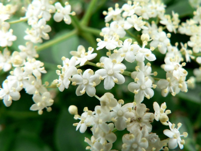 small-elderflowers
